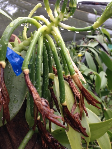 Immature vanilla pods on the vine