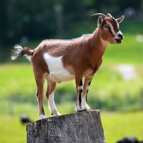 Isn't this a cute goat?